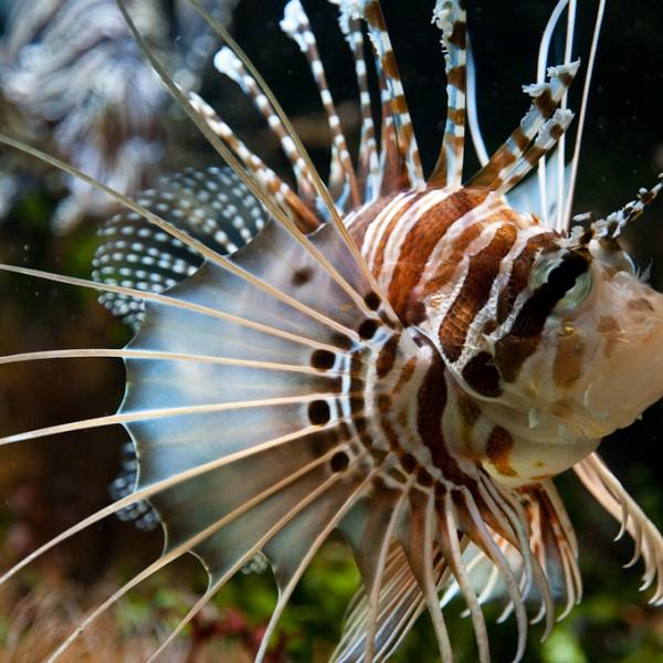 Muséum-Aquarium_de_Nancy_-_rascasse_volante